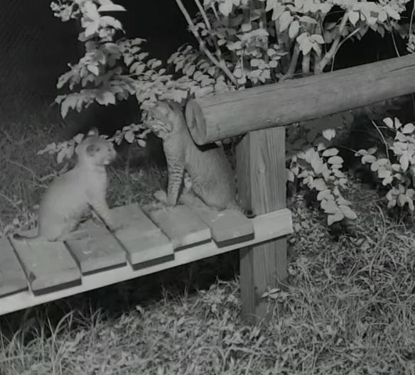 Byrdie Cahira Bobcat Rehab