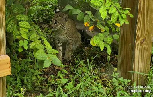 Cahira Bobcat Rehab