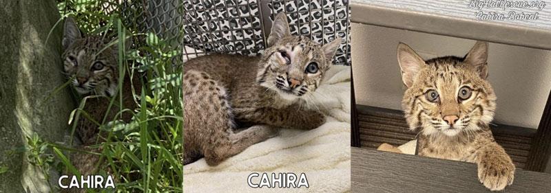 Cahira Rehab Bobcat Eye Vet