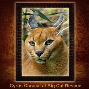 Cyrus Caracal NFT