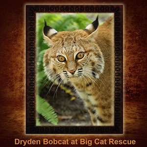 NFT-Dryden-Bobcat