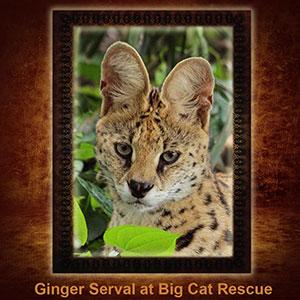 NFT-Ginger-Serval