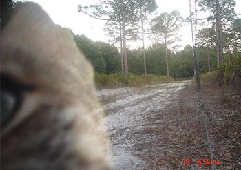 Faith bobcat camera trap closeup