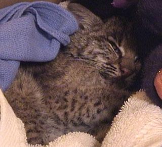 Faith baby bobcat