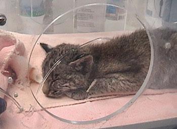 Faith bobcat incubator