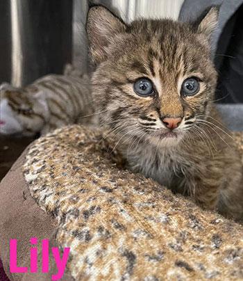 Lily rehab bobcat