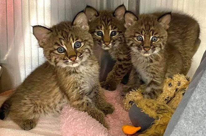 Lily-Denali-Ambrose Rehab Bobcats