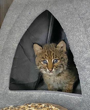 Lily rehab bobcat in hut