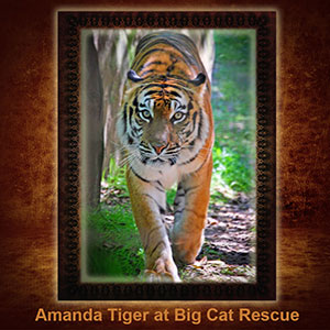 NFT-Amanda-Tiger