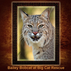NFT-BaileyBobcat
