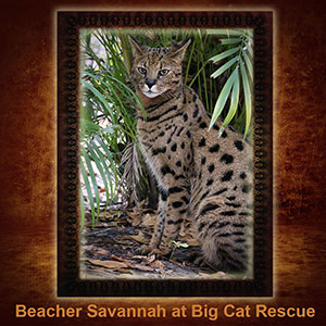 NFT-Beacher-Savannah