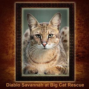 NFT-Diablo-Savannah Cat