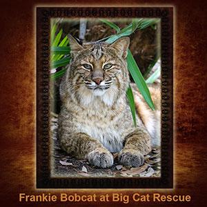 NFT-Frankie-Bobcat