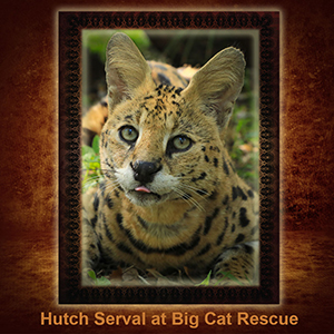 NFT-Hutch-Serval