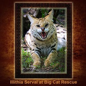 NFT-Illithia-Serval