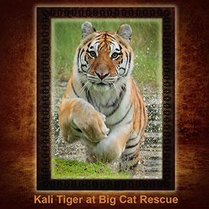 NFT-Kali-Tiger