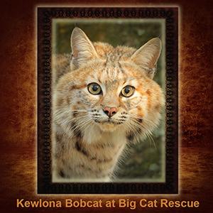 NFT-Kewlona-Bobcat