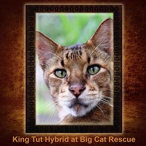 NFT-King-Tut-Savannah-Cat