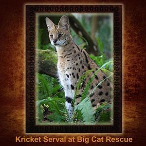 NFT-Kricket-Serval