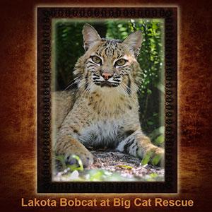 NFT-Lakota-Bobcat