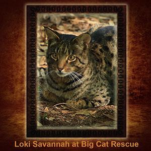 NFT-Loki-Savannah Cat