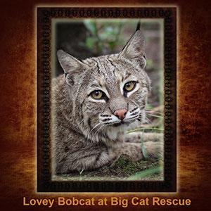 NFT-Lovey-Bobcat