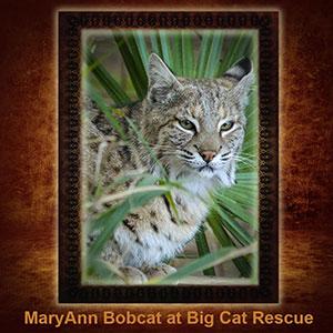 NFT-MaryAnn-Bobcat