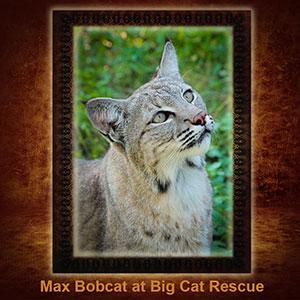 NFT-Max-Bobcat