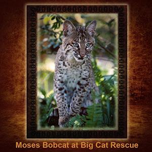 NFT-Moses-Bobcat