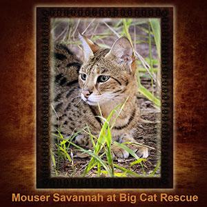NFT-Mouser-Savannah Cat