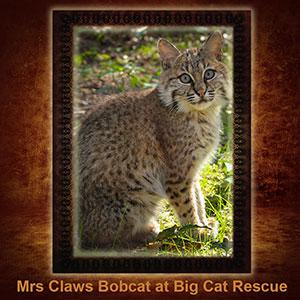 NFT-MrsClaws-Bobcat