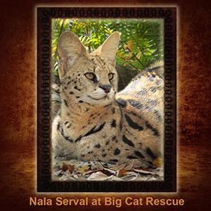 NFT-Nala-Serval