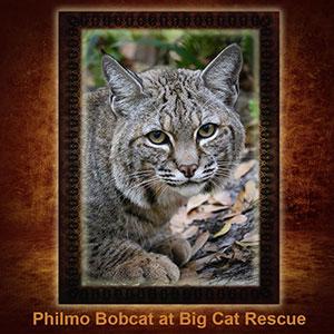 NFT-Philmo-Bobcat