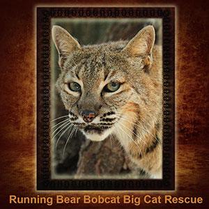 NFT-Running-Bear-Bobcat