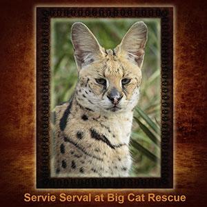 NFT-Servie-Serval