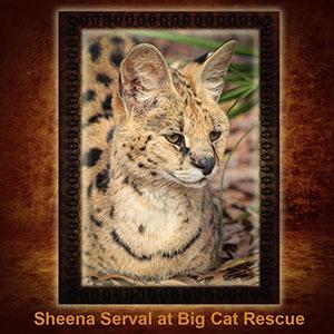 NFT-Sheena-Serval