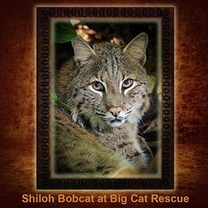 NFT-Shiloh-Bobcat