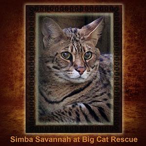 NFT-Simba-Savannah Cat