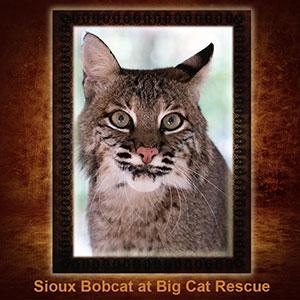NFT-Sioux-Bobcat