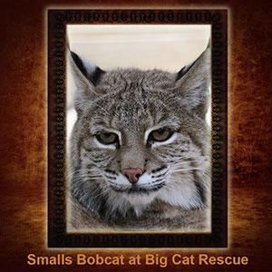 NFT-Smalls-Bobcat