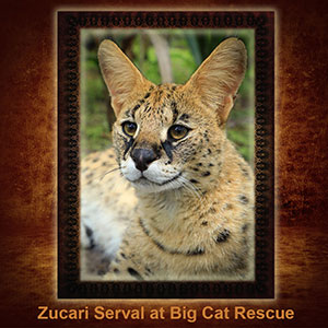 NFT-Zucari-Serval