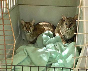 Pia and Venkman rehab bobcats
