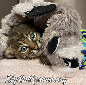 Summer bobcat vet rehab