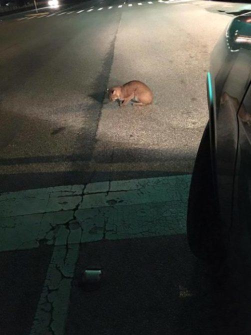 Bobcat-Hit-by-car-HBC-Brandon-2016-02-05